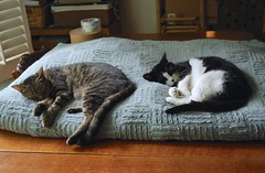 in tandem (rootcrop54) Tags: sleeping cats cat cow nap multiple napping masked dogbed tinafemaletuxedo sleepingintandem cousinmaletabby