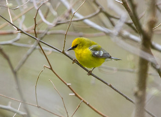 Blue-winged Warbler-1b-05-16