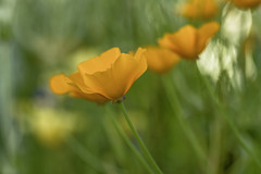 Orange Boro... (Grf f the Pp [@Grfbd]) Tags: flowers summer orange green nature canoneos70d