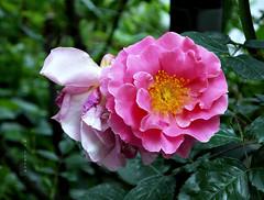 C'est la vie....... ( Faves STOP !! ) (ljucsu) Tags: flowers roses plant rose spring ngc may npc springflowers gardenflowers mayflowers rosemacro springroses mayroses