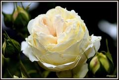 _JVA6861 (mrjean.eu) Tags: park pink flowers blue roses white france flower macro green nature fleur rose yellow fleurs garden nikon jardin botanic lorraine botanique parc metz 105mmf28