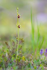 mountain fly (Tschissl) Tags: flowers austria sterreich orchids pflanzen blumen location steiermark ophrys orchideen karlschtt