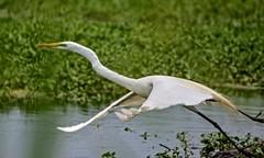 99% (brev99) Tags: bird nature water pond ngc egret snowyegret bif whitebird birdinflight d7100 ononesoftware tamron70300vc highqualityanimals perfecteffects10