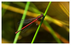 Red damselfly (na_photographs) Tags: dragonfly natur flgel