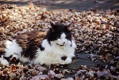 IMG_20160628_0012 (david_z_norton) Tags: autumn pet fall film cat nikon tuxedo portra400 nikkormatftn fallcollors