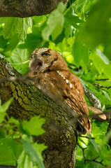 "Screech Owl Yawning (Kristin ""Shoe"" Shoemaker) Tags: tree bird nature backyard yawn owl avian screechowl"