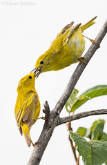 Yellow Warbler (Setophaga petechia) (Kinan Echtay ... So busy) Tags: wild white canada bird nature beauty birds animal animals yellow nikon outdoor drawing background wildlife alberta nikkor 500mm warbler yellowwarbler petechia kinan tc14 setophaga d4s setophagapetechia kinanechtay echtay