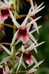 Epigeneium lyonii (rolf_leon) Tags: orchid orchidée epigeneium