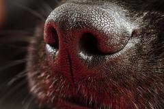 Focinho da cachorrinha Frida (Andr Thiago Chaves Aguiar) Tags: dog co animal by nose frida snout nariz cachorra cadela focinho blackmuzzle noseblack dogsfur