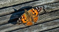 mariposa (Pat Celta) Tags: macro beauty butterfly nikon d70 mariposa mariposas macrofotografa