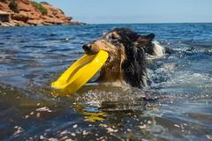 23/52 Leia & Hello June (shila009) Tags: dog beach water june agua collie play playa swing perro ibiza enjoy nadar tricolor frisbee jugar rough junio leia roughcollie 52weeksfordogs