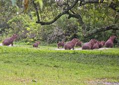 Capybaras (2 of 4) (Daniela Parra F.) Tags: capybaras capybara roedores rodents roedoresgigantes caviomorfos roedorescaviomorfos societies social antipredatorstrategies caviomorphs hystricognaths ratonesgigantes semiacuatico
