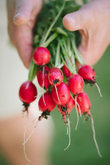 Cherry Belle Radishes (~ Maria ~) Tags: radish cherrybelle rdisor raphanussativus handsholdingradishes harvest healthyeating vegetable rootvegetable organic eco ekologisktodlade june 2016 nikond800 sigma150mm bunch dirty holding humanhand food