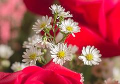IMG_4163 (Josy'ta) Tags: rose rosas rosascolombianas flowers flores flor diadosnamorados love