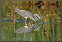 Sir Lancelot in action (WanaM3) Tags: reflection bird heron nature water animal nikon texas wildlife bayou pasadena canoeing paddling tricoloredheron foraging clearlakecity d7100 horsepenbayou wanam3 nikond7100