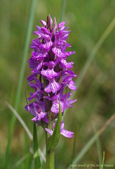 Southern Marsh Orchid on the last remaining acid bog and heathland habitat in Kent - Dactylorhiza praetermissa (favmark1) Tags: kent orchids wildorchids southernmarshorchid dactylorhizapraetermissa britishorchids acidbog kentorchids