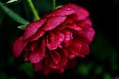 ~~Comme moi, les Pivoines n'aiment pas la pluie !!!~~ (Jolisa) Tags: red flower macro fleur rouge eau pluie pivoine gouttelettes juin2016