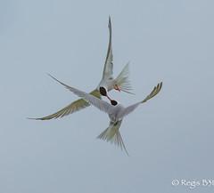 Le bécot du siècle... (Régis B 31) Tags: charadriiformes commontern laridés sternahirundo sternepierregarin ariège bird domainedesoiseaux mazères oiseau fabuleuse