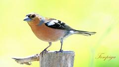 Fringilla coelebs (Tonpiga) Tags: fringillacoelebs fringuello faunaselvatica tonpiga uccelliinlibert