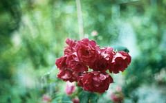 Roses (AndreArma) Tags: flowers red roses green film nature vintage garden bokeh 55mm 100 ttl petri solaris analogic ferrania ccauto