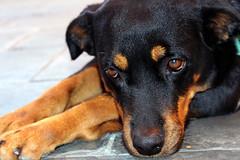Pituca (Bruna.Sousa) Tags: dog pet animal amigo cachorro