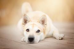 Honda (Alicja Zmysowska) Tags: dog shiba inu dogs pet pets cute eyes puppy autumn