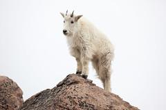 Mountain Goat (mhawkins) Tags: mtevans