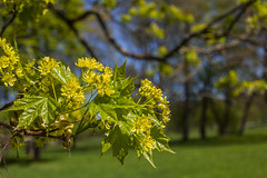 Blooming Maple Tree (AudioClassic) Tags: park sun plant tree green nature closeup outdoors leaf maple flora estonia day branch nopeople april backgrounds flowering growing bud freshness springtime newlife flowerhead formalgarden naturebackgrounds bloomingtimelapse mayseason