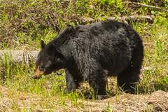 Mama munching (ChicagoBob46) Tags: blackbear bear yellowstone yellowstonenationalpark nature wildlife
