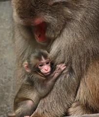 Japanese macaque Artis JN6A3512 (j.a.kok) Tags: artis macaque japanesemacaque makaak japansemakaak