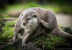 A good scratch! (jane.renton) Tags: otter edinburghzoo