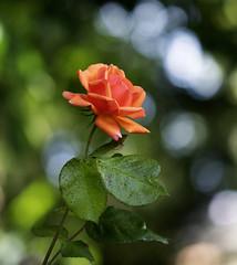 Hybrid Tea rose (julie.johnson931) Tags: doublefantasy