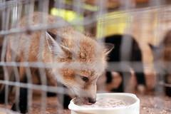 20160529-17 (GenJapan1986) Tags: 2016 fujifilmfujicolorsuperiaxtra400 nikonnewfm2        animal fox miyagi japan  film