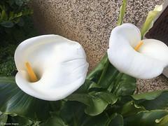 double arome blanc (alexandrarougeron) Tags: plante extrieur dehors urbain environnement france vgtation fleur blanc blanche arme deux ville