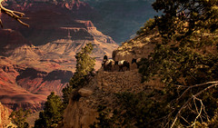 Into the Chasm (John A. McCrae) Tags: southwest landscape nationalpark scenery grandcanyon scenic mules southrim brightangeltrail packmule muletrain