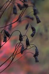 Autumnal colors 1 (JP Korpi-Vartiainen) Tags: red plant fall nature colors finland garden countryside october scenery colorful view seed september finnish picturesque tranquil autumnal kuopio maisema kasvi syksy luonto puutarha punainen siemen ruska maaseutu näkymä syyskuu lokakuu värikäs rauhallinen maalaismaisema siemenet maanviljely pohjoissavo talvehtia talventulo maalauksellinen jpko
