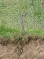 Merops apiaster - Meropidae - Gupier d'Europe - European Bee-eater (vanaspati1) Tags: france bird nature colors birds european couleurs animaux oiseau oiseaux beeeater sauvage voler merops apiaster meropidae deurope gupier vanaspati1