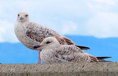 Jeunes golands avant le Brexit (Raymonde Contensous) Tags: highlands lochs oiseaux ecosse mallaig royaumeuni golands