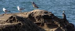Birds (Peter_Australis) Tags: park heron birds seagull shore cormorant botanybay kurnell capesolander