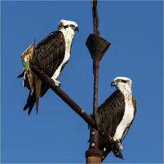 Osprey couple (beninfreo) Tags: winter sun bird weather canon weathervane vane fremantle westernaustralia osprey coogee pandionhaliaetus