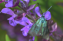 Green cloaked butterfly (lkiraly72) Tags: macro green insect cloaked