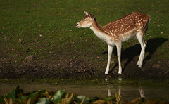 Deer (ShiyuZhuang) Tags: morning nature water pool grass denmark wildlife sony deer slata99