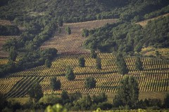 Parras Multicolores (Roberto Cumsille) Tags: chile red orange santacruz yellow arcoiris rojo vines wine colores amarillo valley naranja apalta parras colchagua robertocumsille