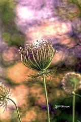 Friday Morning (haidarism (Ahmed Alhaidari)) Tags: flower bud plant bokeh outdoor nature depthoffield sonya65 macro macrophotography green leaf daucuscarota queenanneslace