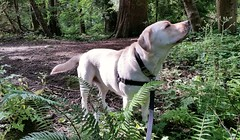 Gracie in the sunlit woods (walneylad) Tags: summer dog pet cute june puppy gracie lab labrador canine labradorretriever