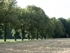 Alle de tilleuls (bpmm) Tags: lompret nord arbres champ crales tilleul