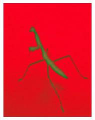 (C. Neil Scott) Tags: mantis prayingmantis preyingmantis westcolumbiasc southcarolina