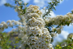 White Flowers (JustinMullenPhotography) Tags: flowers blue sunset red wild summer wallpaper sky sun flower tree cute green nature water floral beautiful beauty yellow clouds washington spring