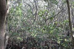 SOP-040716-001 (alison.klein) Tags: wetlands mangroves sydneyolympicpark