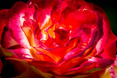 Heart of fire (Thierry GASSELIN) Tags: rose rouge d7100 nikonflickraward